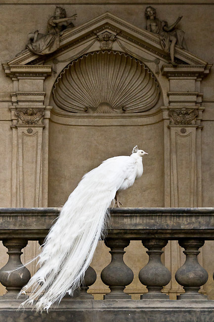 A white peacock striking the pose in the Wallenstein garden